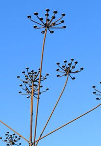 Cow Parsley by Chris Kampf